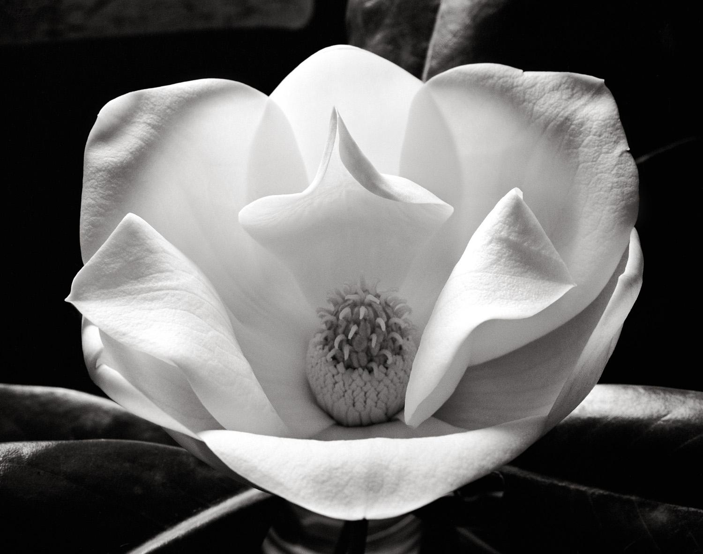 Magnolia 45x35cm