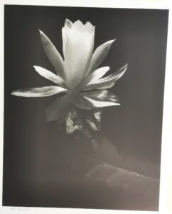Lily by night 1983