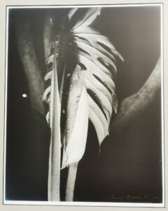 Monstera bud and leaf 1980s